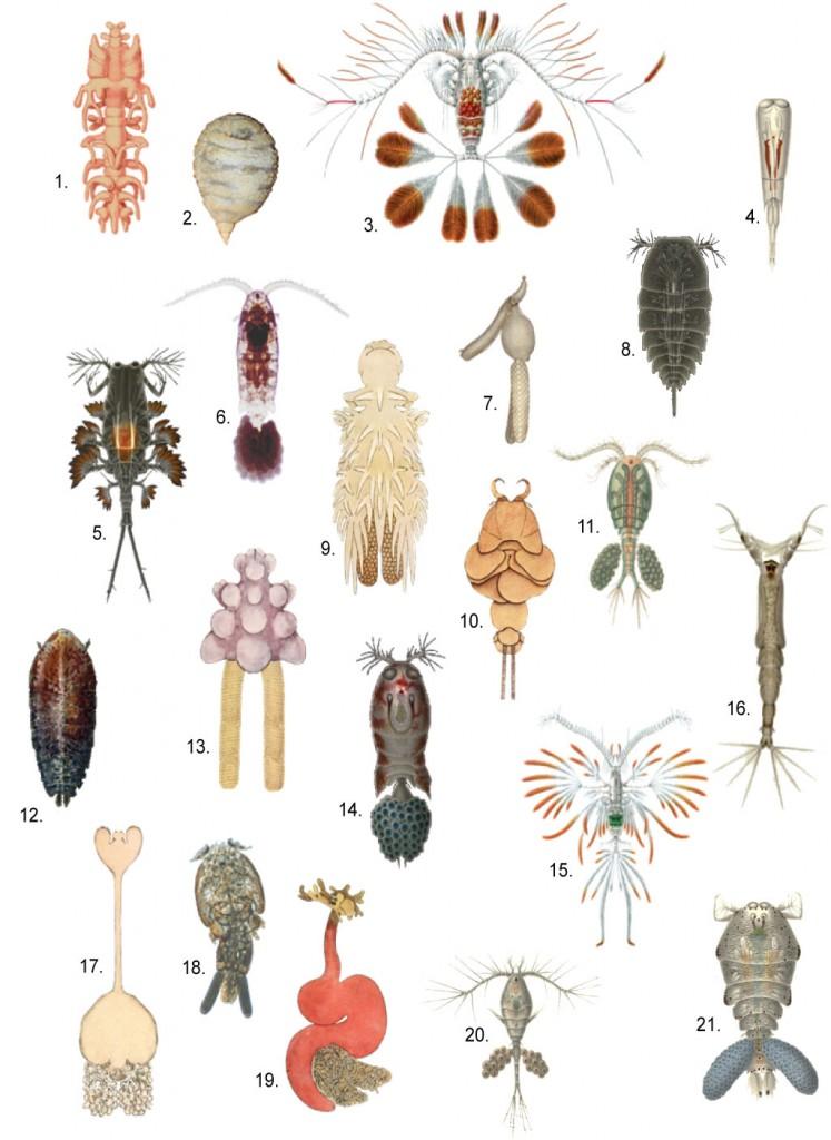 Разнообразные формы копепод